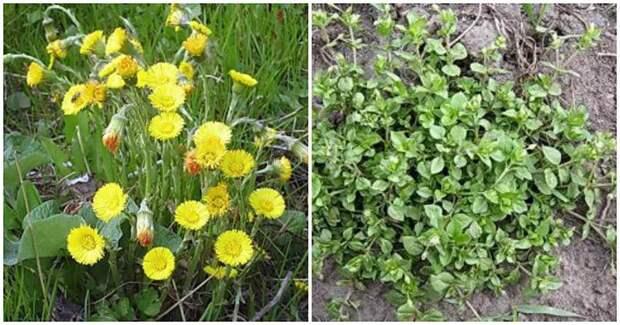 Сорняки в помощь: определите почву для посадки растений