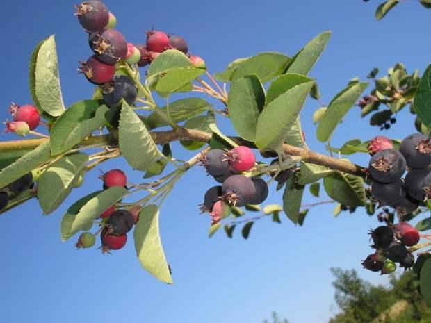 Ирга — виды, сорта, агротехника
