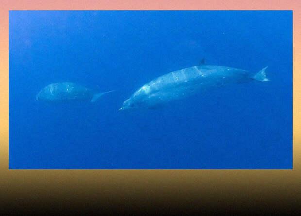 Зоологи заявили об открытии нового вида клюворылых китов у берегов Мексики