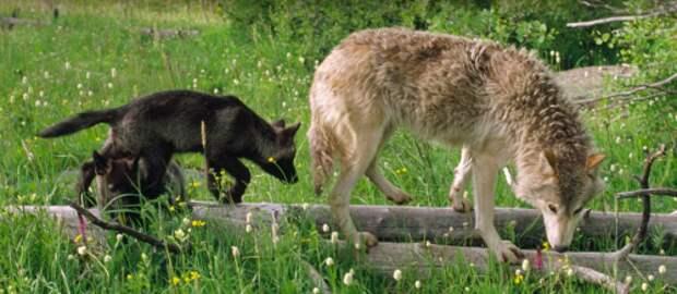 Волчата учатся всему у старших членов стаи, стараясь максимально точно повторять все действия. || Фото: National Geographic.