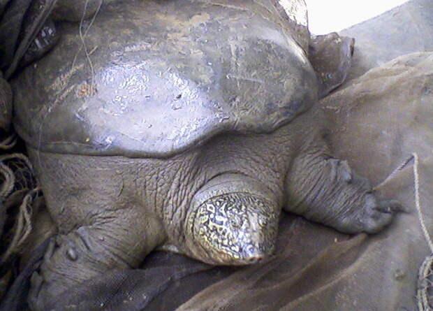 Во Вьетнаме сфотографировали четвертую особь черепахи Свайно