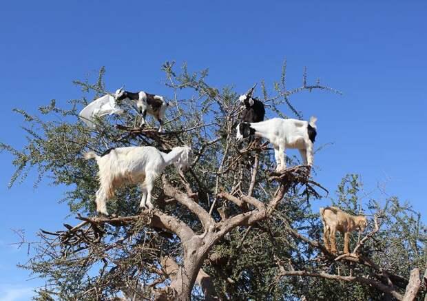 Козы на дереве: уникальная достопримечательность Марокко оказалась фейком