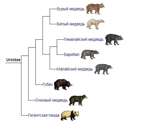 Всё семейство медвежьих. Википедия
