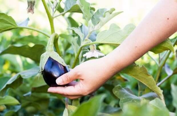 Почему не завязываются плоды на баклажанах