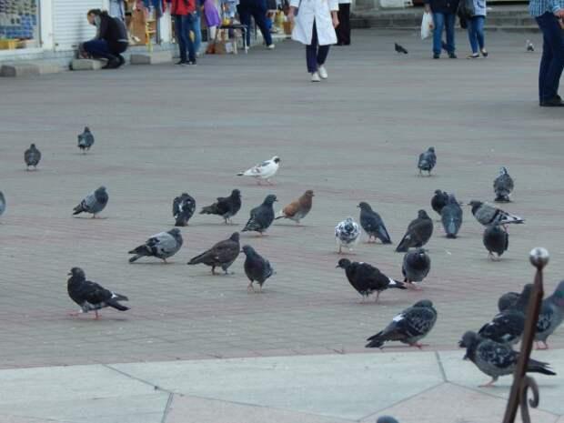 Почему на улицах мы видим только взрослых голубей?