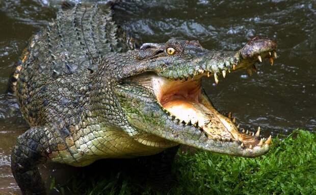 Крокодил съел мужчину, нарушившего карантин по коронавирусу