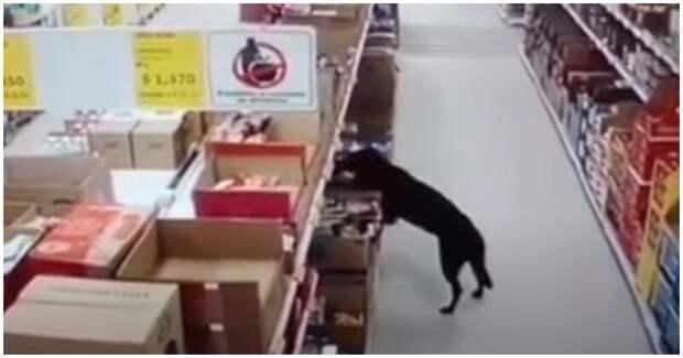 Идеальное преступление: сообразительная собака украла пакет с кормом из магазина
