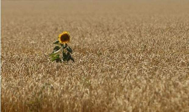 A sunflower is seen in the field of wheat near Krasnoye settlement in Stavropol region, Russia July 19, 2017. REUTERS/Eduard Korniyenko