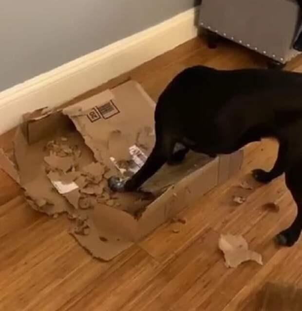 Собака грызет коробку