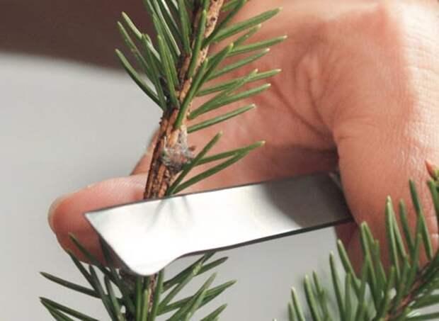 Прививка хвойных растений, как привить хвойные растения вприклад, зачистка подвоя
