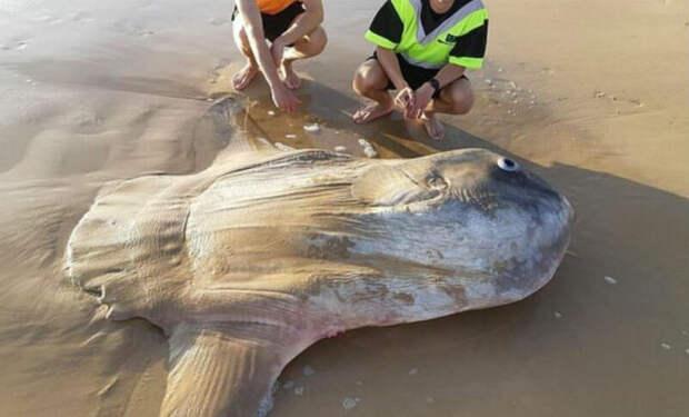 Рыбакам показалось, что в волнах лежит бревно. Они подошли и поняли, что вынесло редкую рыбу