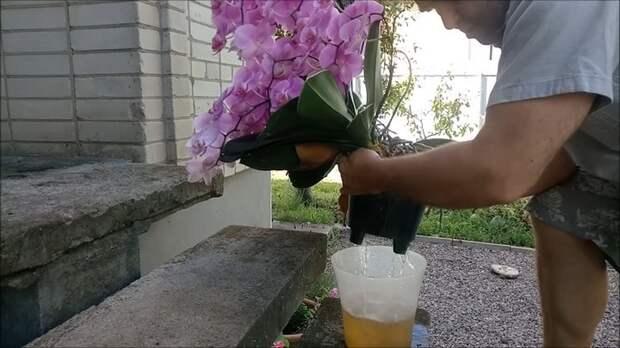 Секреты полива орхидей для буйного цветения