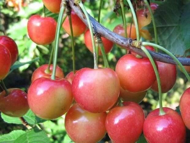 Выращивание черешни