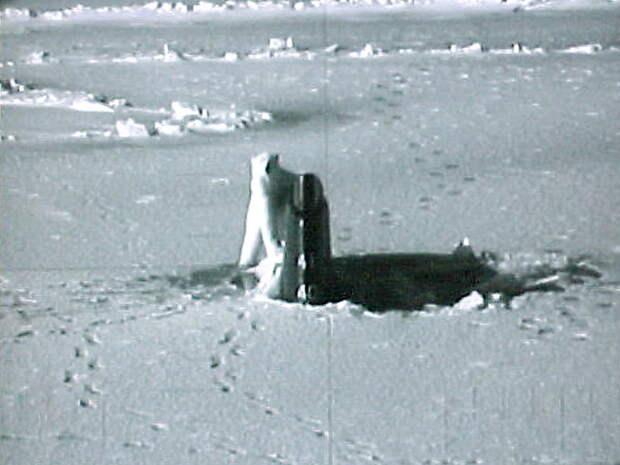 Белый медведь едва не сорвал редкий маневр трех российских АПЛ в Арктике