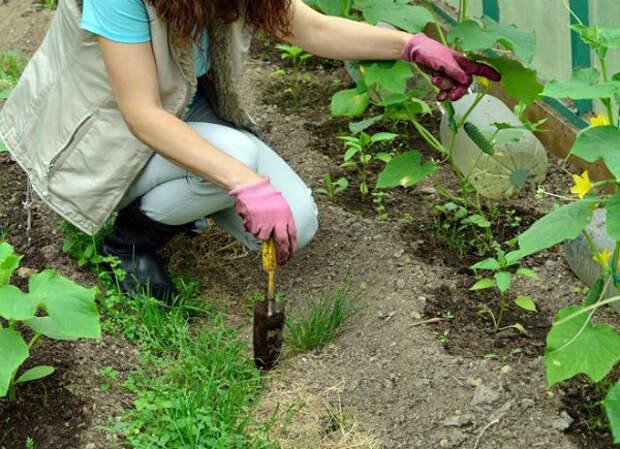 Пустоцвет на огурцах в теплицы: что делать