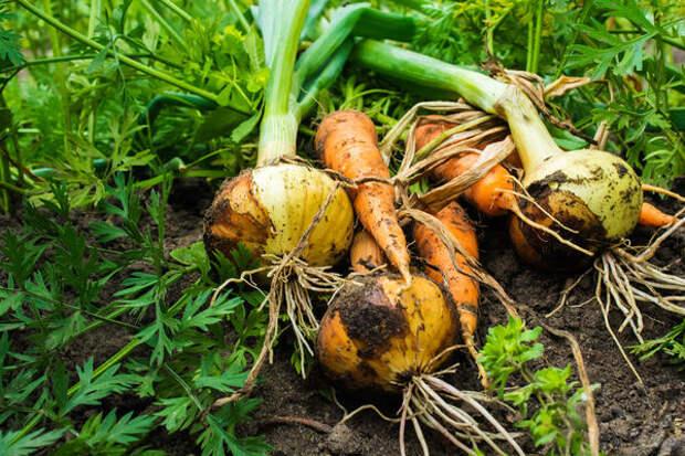 Без лука и моркови огород не тот