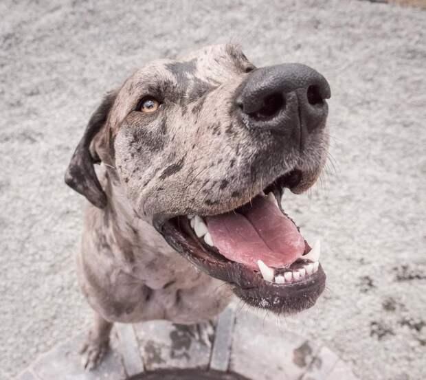 Из малютки-щеночка вырос статный немецкий дог золотистый ретривер, немецкий дог, собака, щенок