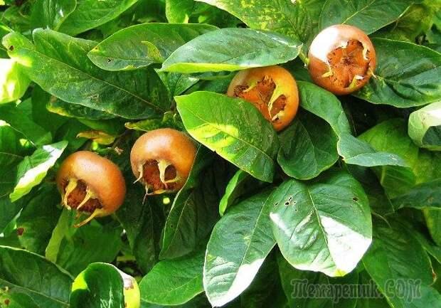 Мушмула: посадка, уход и выращивание в домашних условиях