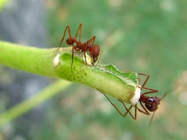 Муравьи Атта: Единственные существа на планете, способные к телепортации?