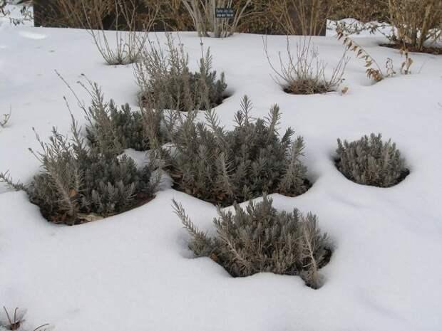 Лаванда зимой