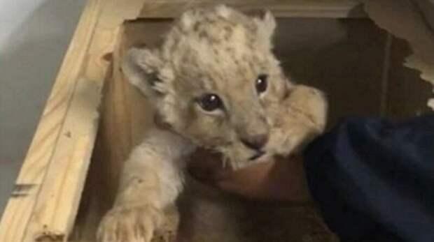 Мексиканские полицейские нашли внутри посылки львенка