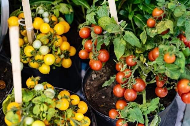 6 огородных растений, которые можно выращивать дома, собирая богатый урожай