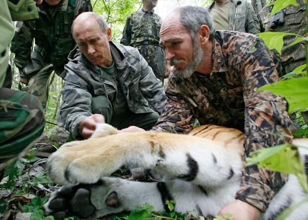 Владимир Путин держит голову пятилетнего тигра, пока ученые надевают на зверя ошейник со спутниковым маячком. Дальневосточный уссурийский заповедник, 31 августа 2008 года.