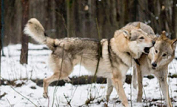 Волчица пришла просить еду и лесник ее пожалел. Через два месяца к деревне пришли три волка и поблагодарили человека