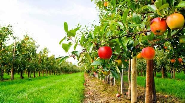Расцветут ли яблони и груши