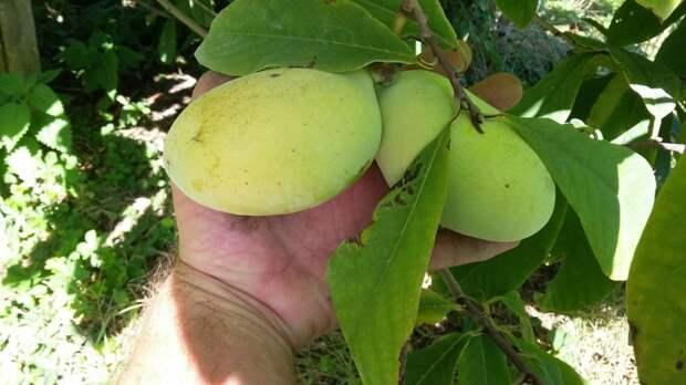 Более 6 гектаров экзотической азимины посадят в Крыму