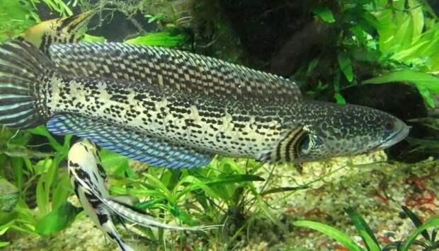 Самые странные инеобычные аквариумные рыбы