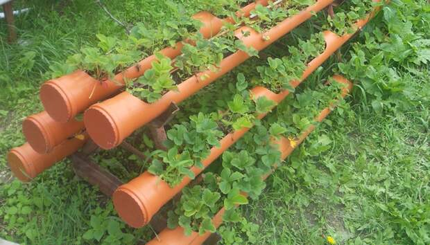 Выращивание клубники в трубах ПВХ – инструкция для начинающих
