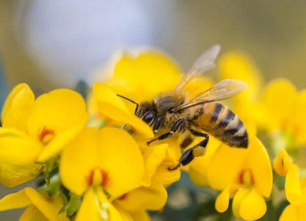 Пчелы - самые известные аллергенные насекомые
