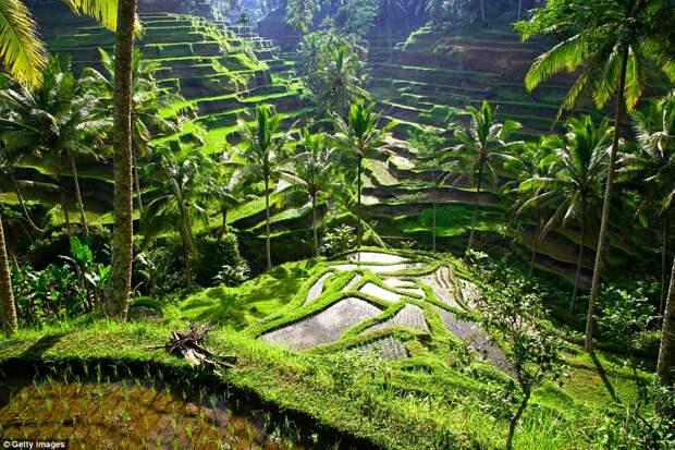 Рисовые террасы в регионе Убуд на Бали