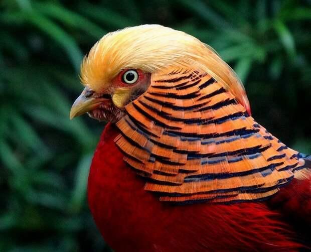 9. Портрет золотого фазана.