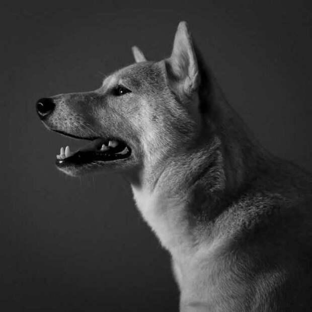 Собака сиба-ину становится самой высокооплачиваемой моделью мужской одежды