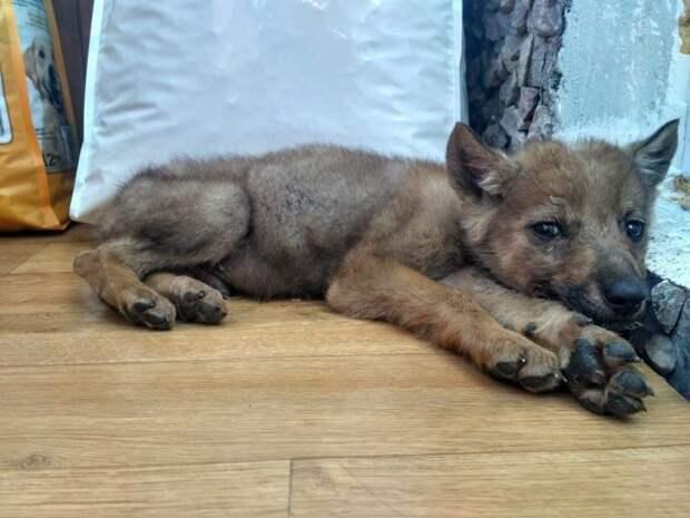 Нашли на улице щенка, а он вырос в серого волка. Соседи теперь нас побаиваются