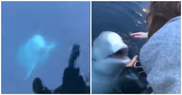 Дружелюбная «русская белуха-шпион» вернула девушке упавший в воду смартфон белуха, видео, девушка, кит, норвегия, потеря, реакция, смартфон