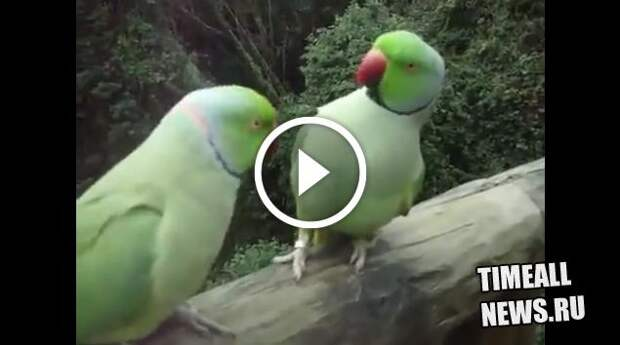 Диалог двух попугаев сидящих на балконе