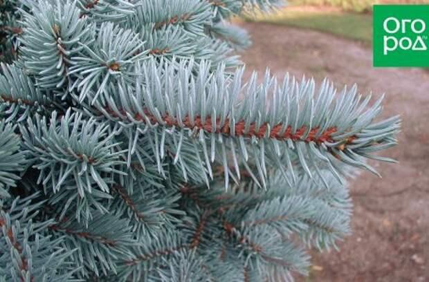 10 привлекательных хвойных растений, которые точно не вымерзнут зимой