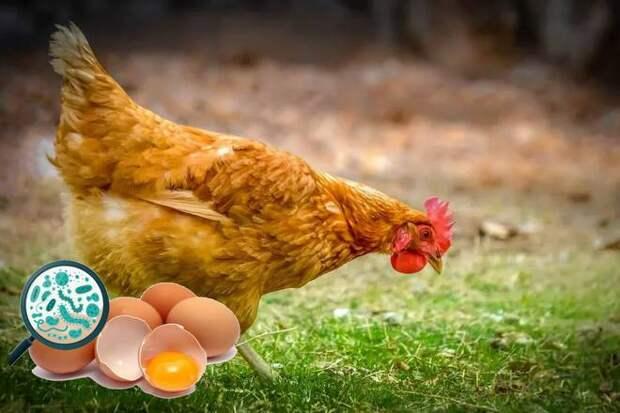 курица переносчик вируса птичьего гриппа, сальмонеллы