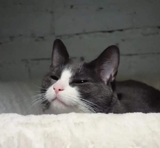 Серо-белая кошка
