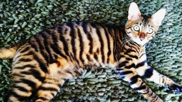 Хозяйка чудо-кота из Финляндии развеяла миф о необучаемости мурлык: 50 трюков Нипы .