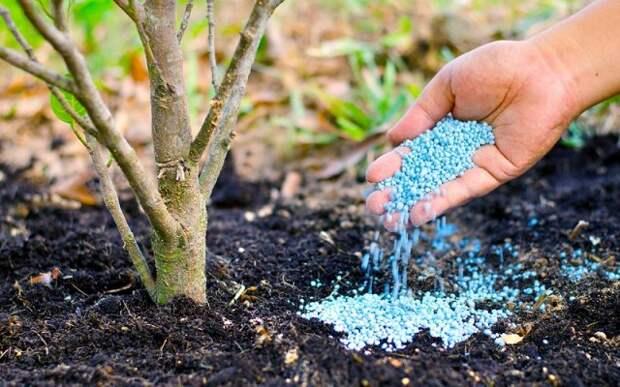 хороший урожай груш секреты