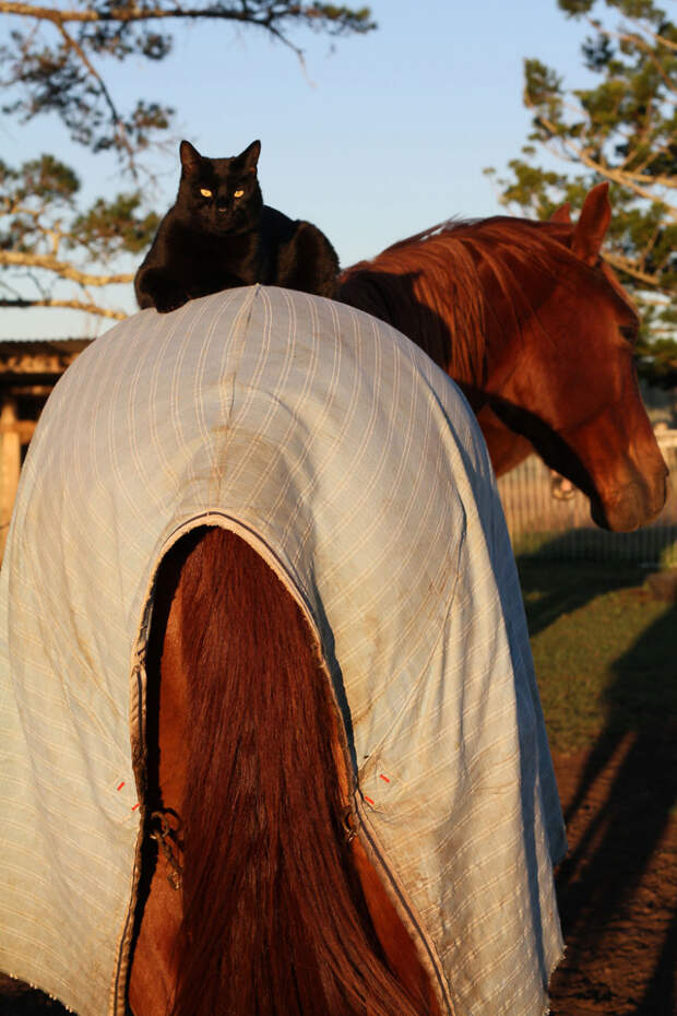 Дружба кошки и лошади помогла собрать деньги для других животных