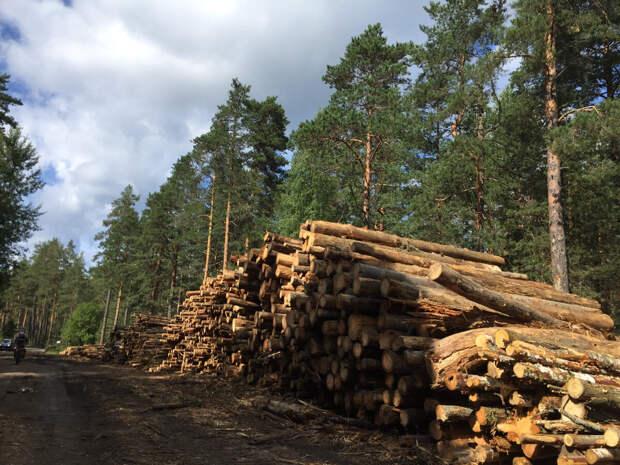Беспощадная вырубка российских лесов