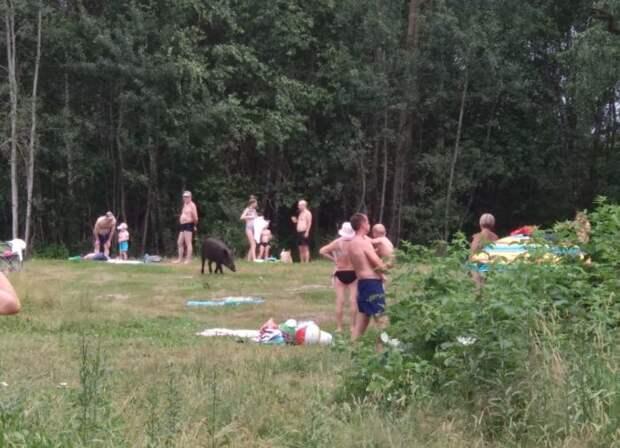 Кабан в Рязанской области уже который год выходит летом к людям. /Фото: ya.ru.