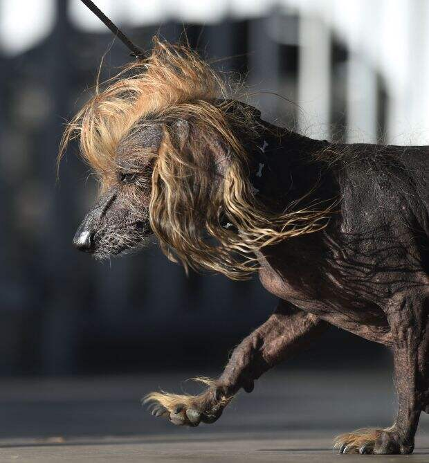 В США выбрали «Самую уродливую собаку в мире»