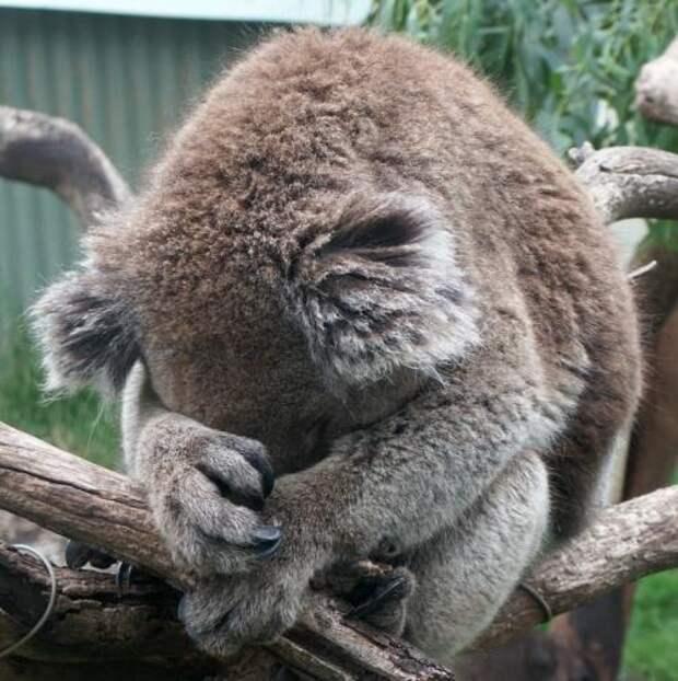 Действительно ли коалы такие милые,как кажется?:)