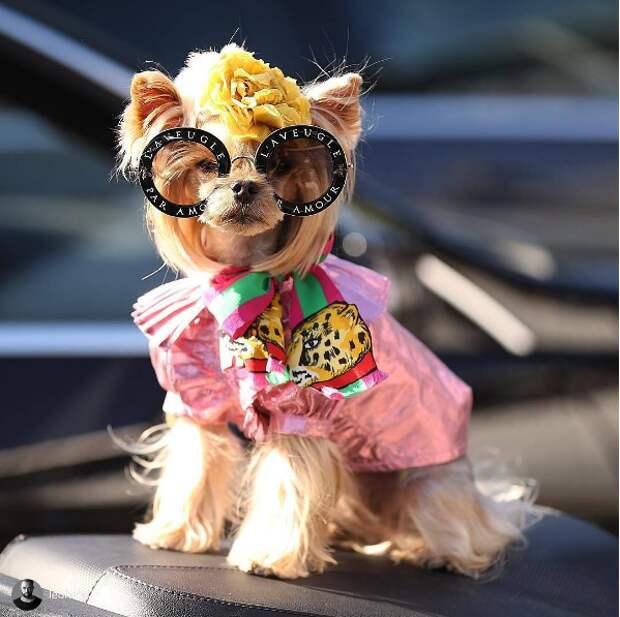 Похоже, мы нашли самую модную собаку на свете — она ходит на показы Chanel и носит шубу от Gucci